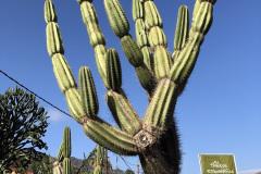 Kaktusy-w-parku-etnograicznym-na-La-Gomera