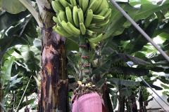 Kwiat-bananowca-w-Agulo-La-Gomera