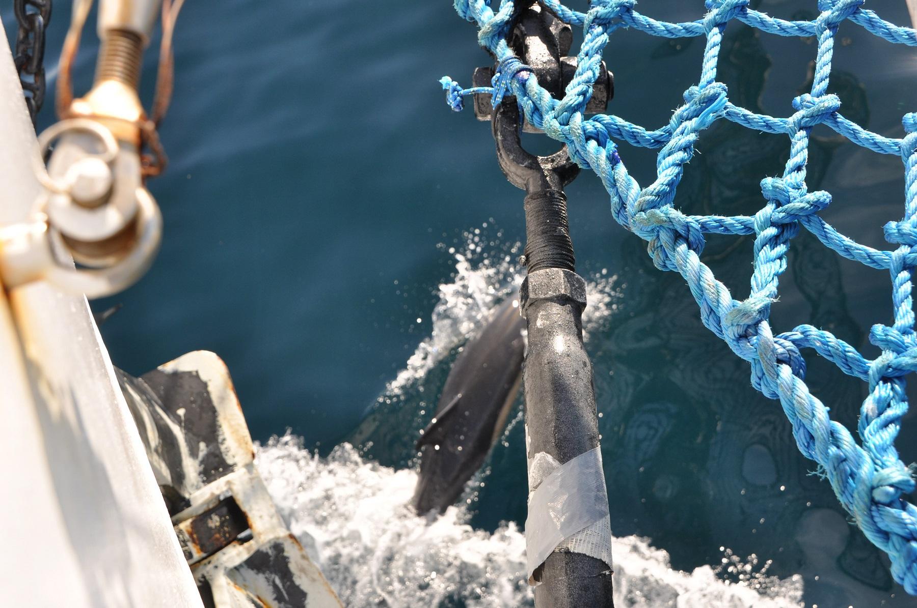 Delfiny-przed-dziobem-STS-kpt.-Borchardt-1