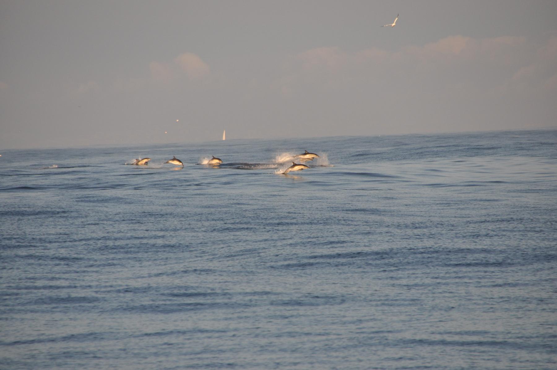 Delfiny-przed-dziobem-STS-kpt.-Borchardt-2