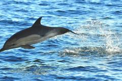 Delfin-w-ciesninie-Gibraltar