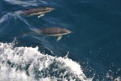 Delfiny-przed-dziobem-STS-kpt.-Borchardt